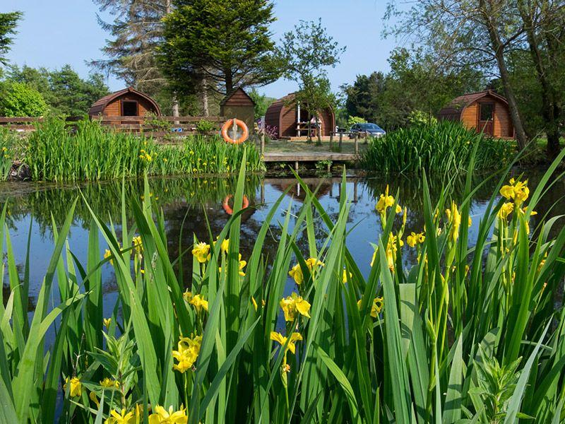 Enjoy the yellow iris grow at the edge of pond