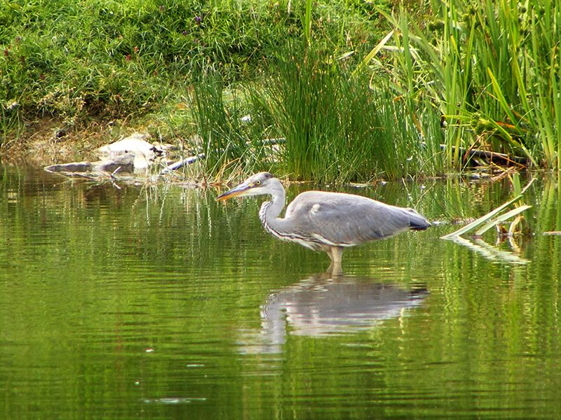Before our resident heron gets there first!