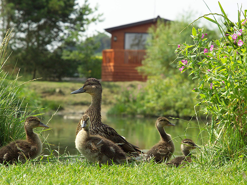 There are a variety of bird and animal life on the park from swans, ducks, herons, coots to rabbits and deer.